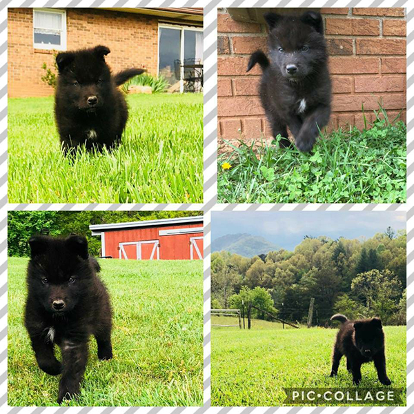 Raven Black Puppies Available Now April 2018!